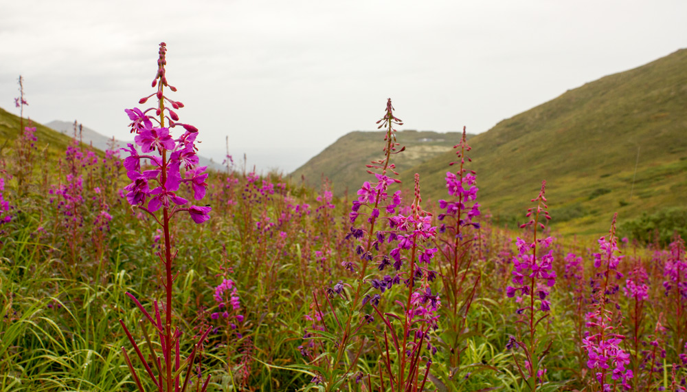 Fireweed... mostly me making an excuse to stop for my break to take a picture.